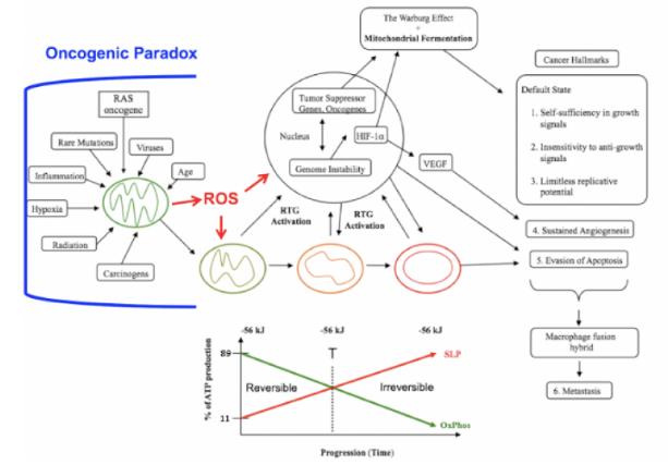oncogenic paradox