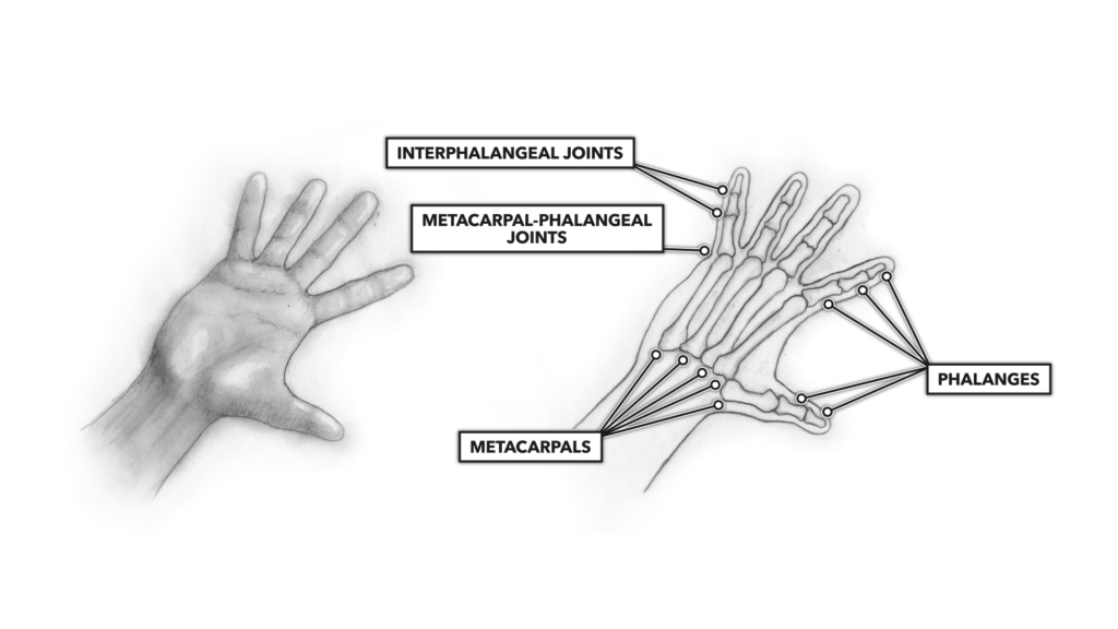 The Hand and Fingers