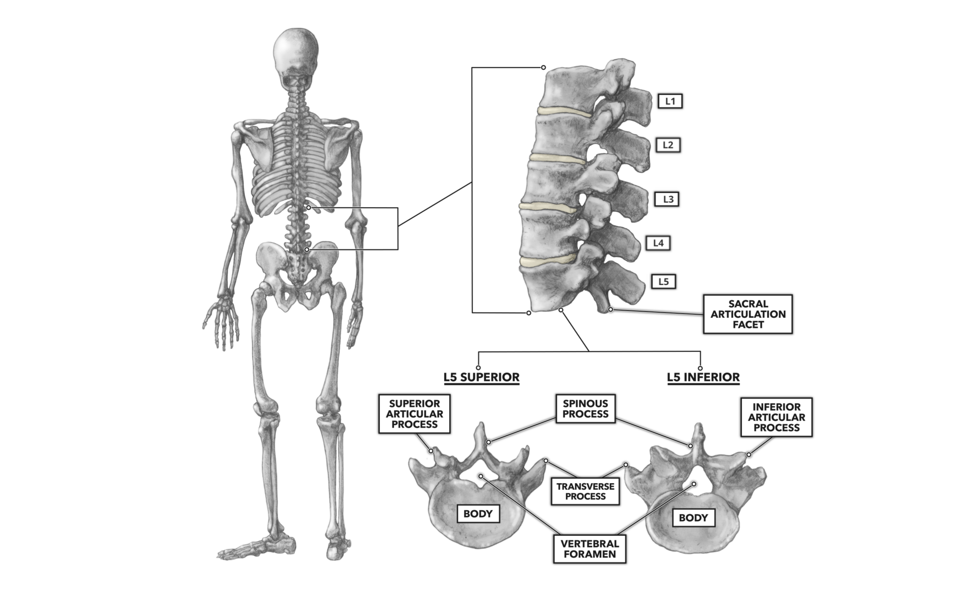 the lumbar vertebrae