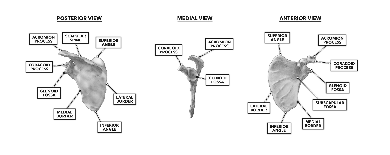 CrossFit | Bones of the Shoulder