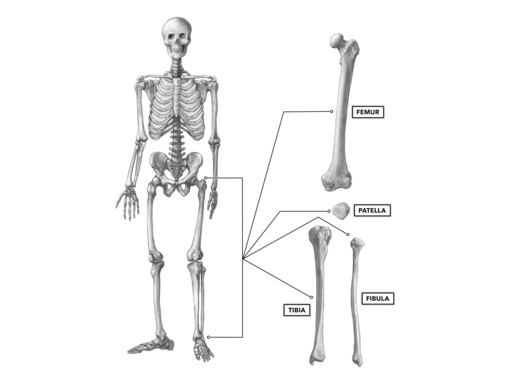 anterior knee