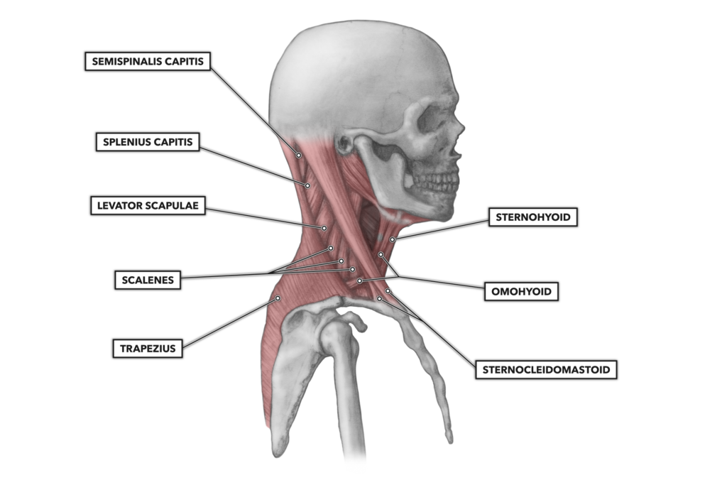 Cervical Muscles 1