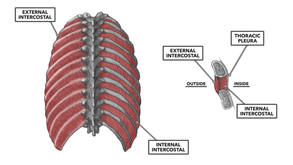 Thoracic Muscles Part 1
