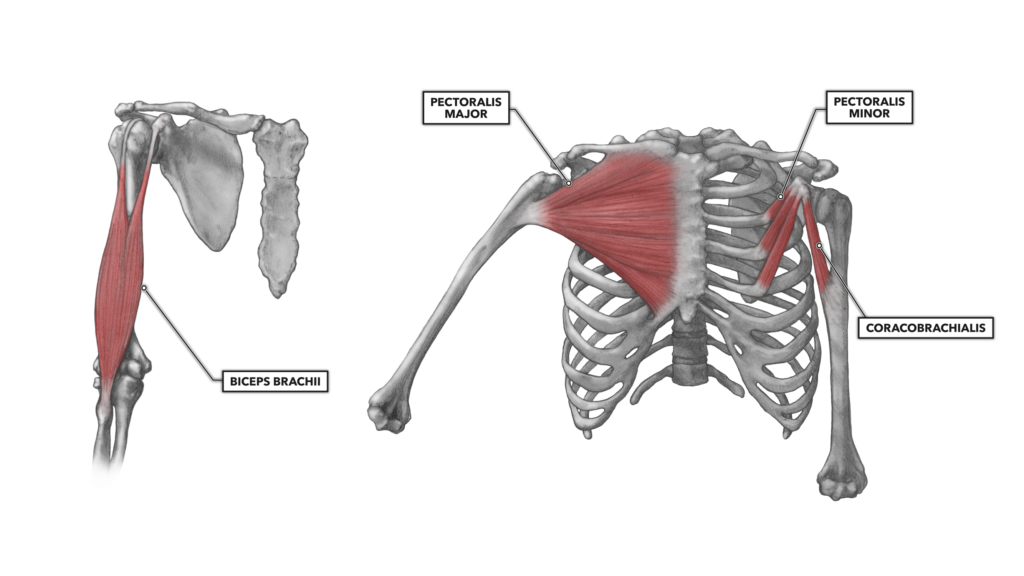 Anterior shoulder muscles
