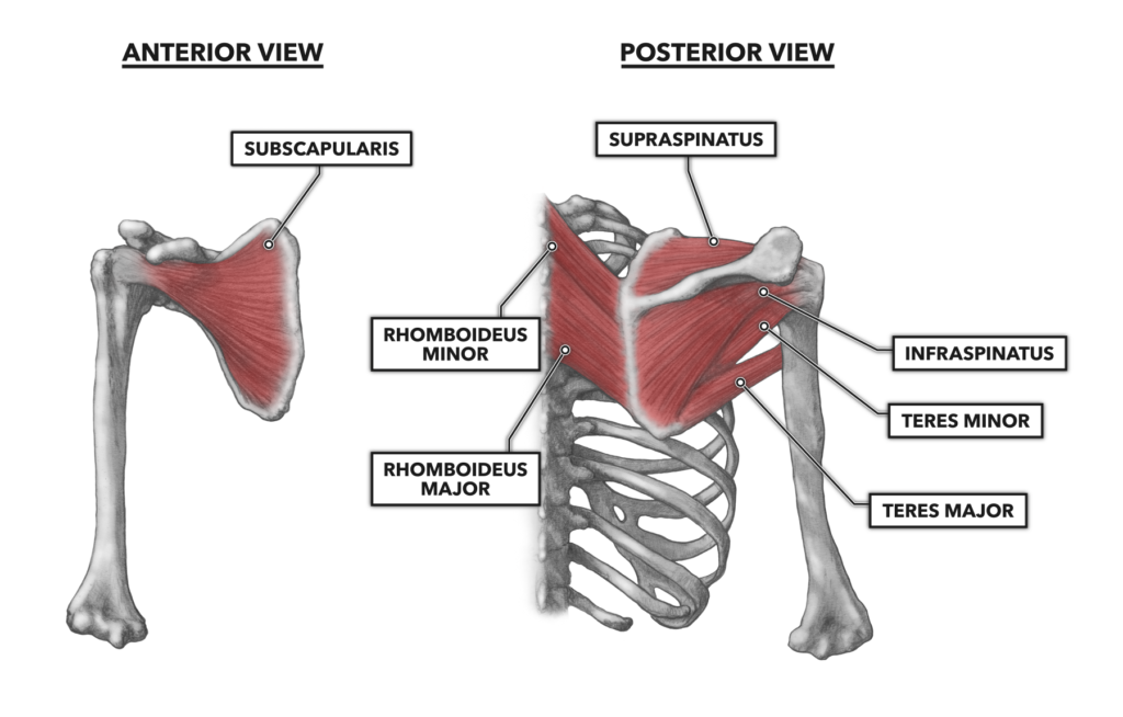 Shoulder Musculature 3