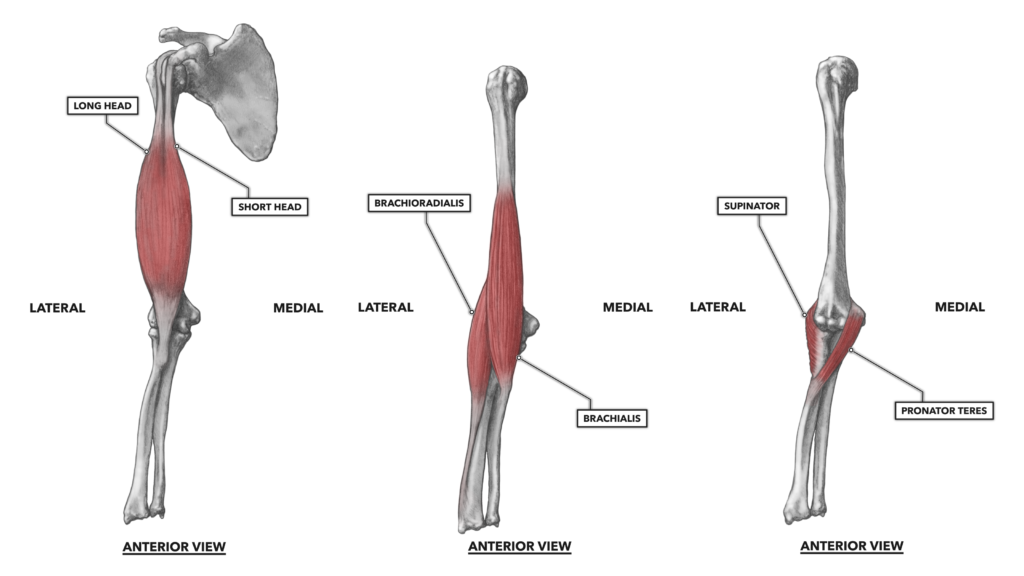 Elbow musculature