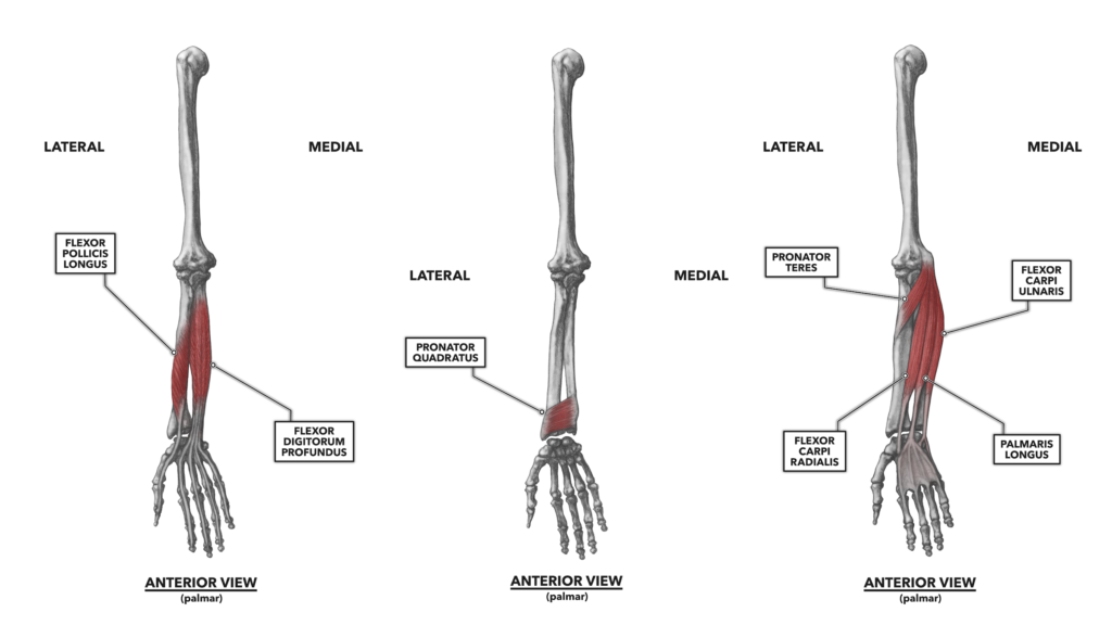Anterior Wrist Muscles