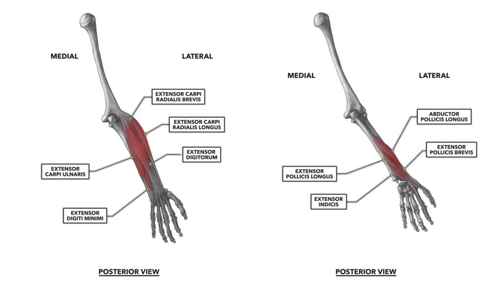 Wrist Part 2