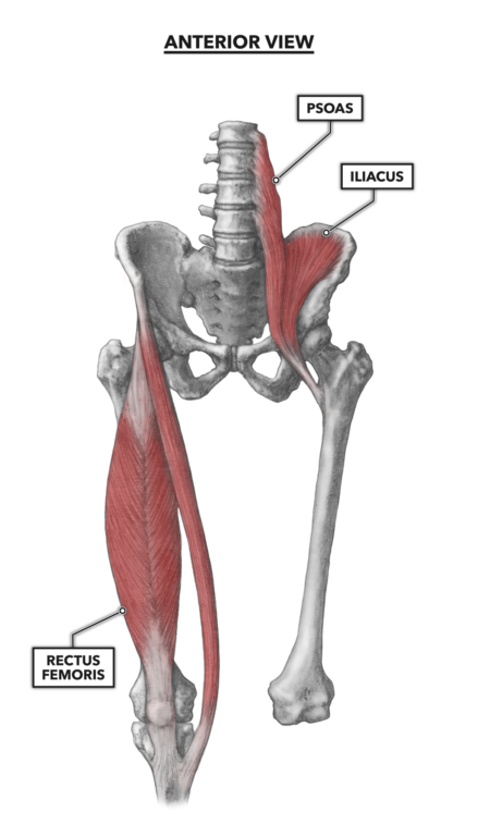 Figure 1: The anterior muscles of the hip