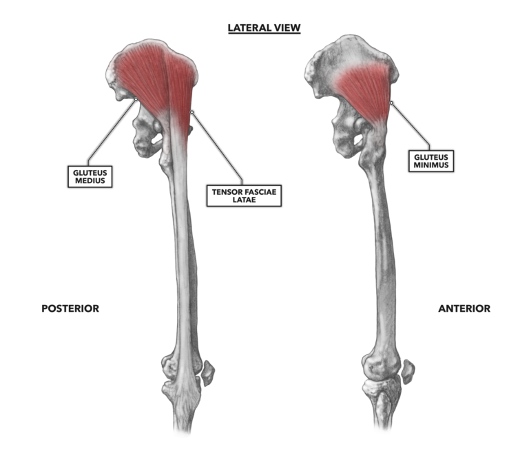 Lateral Muscles