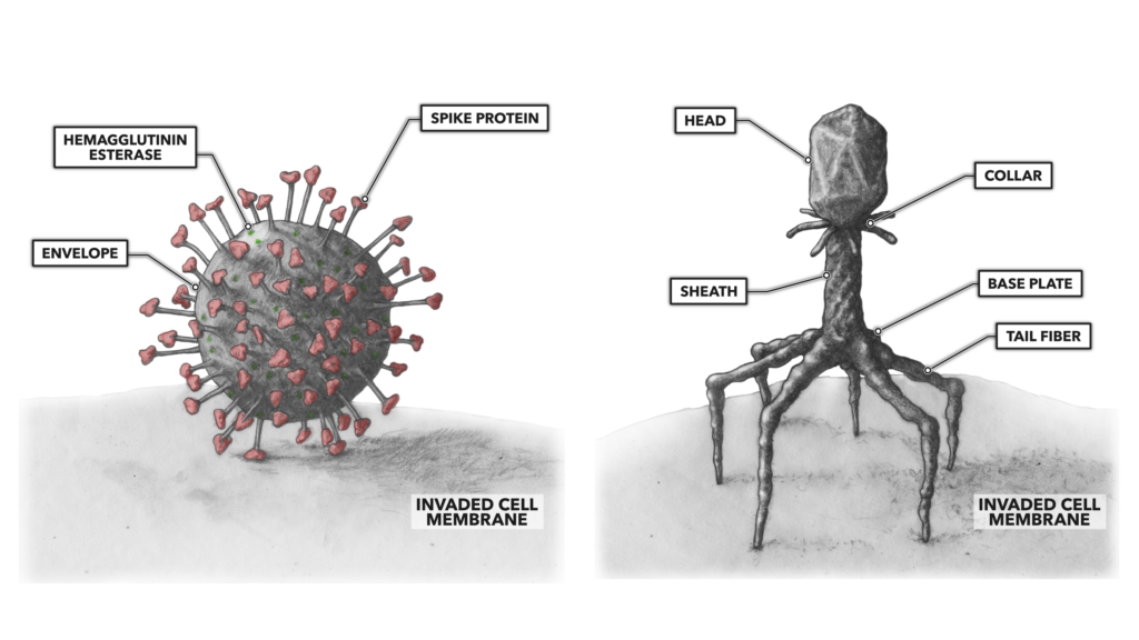 Viral cell