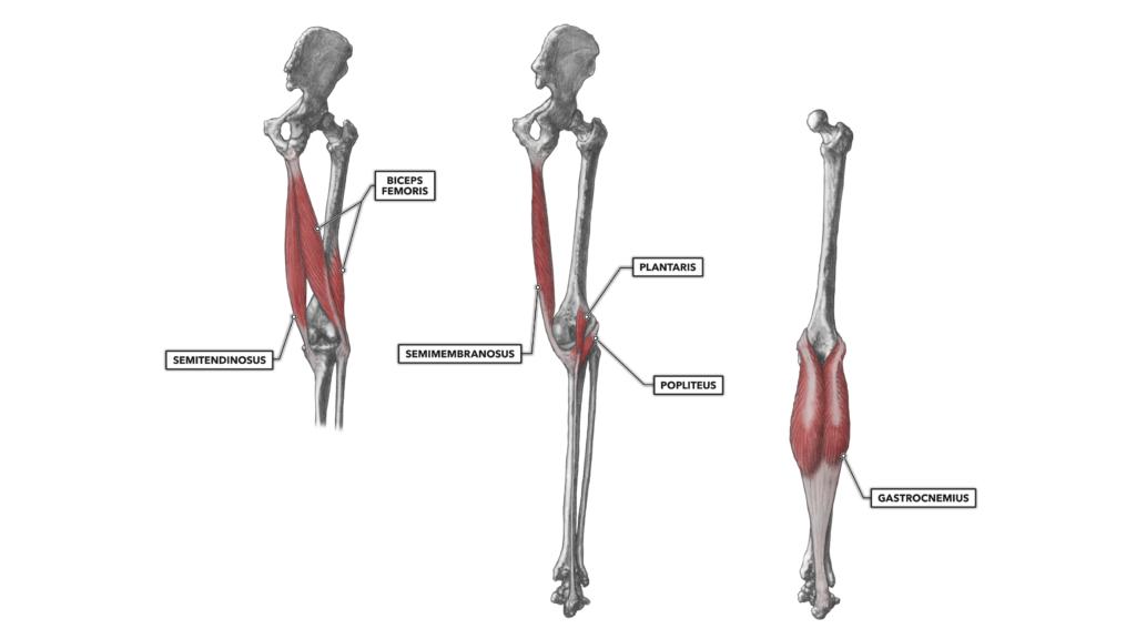 Knee musculature, Part 2