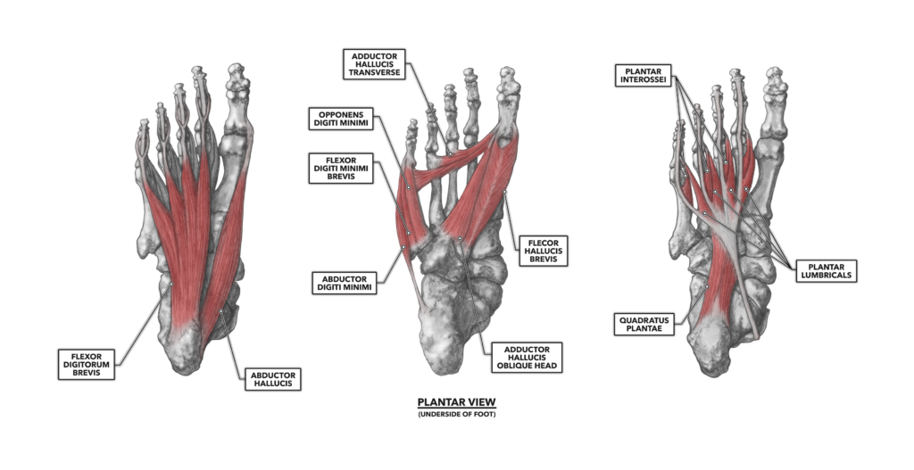 The Foot, Part 1: Muscles