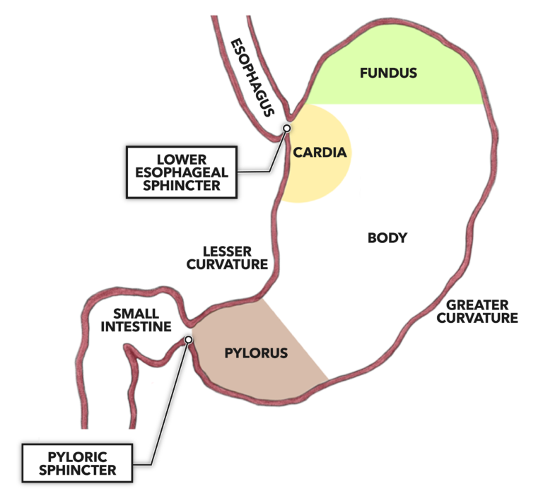 Stomach Regions